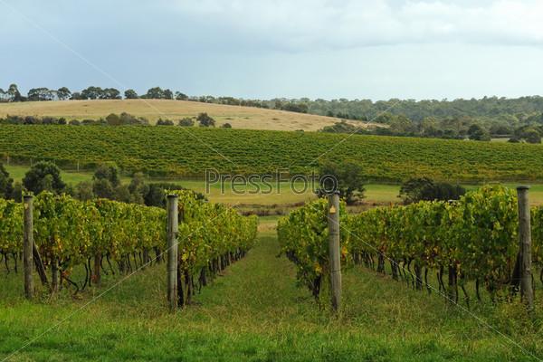 Ряды зеленого винограда на холмах осенью. Полуостров Морнингтон, Виктория, Австралия