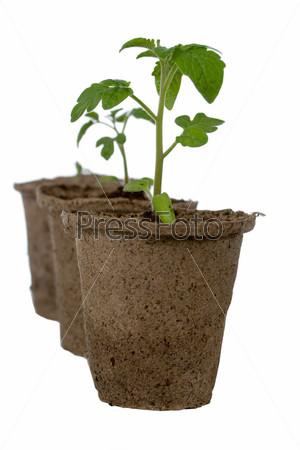 Фотография на тему Сеянцы томатов в торфяных горшках на белом фоне