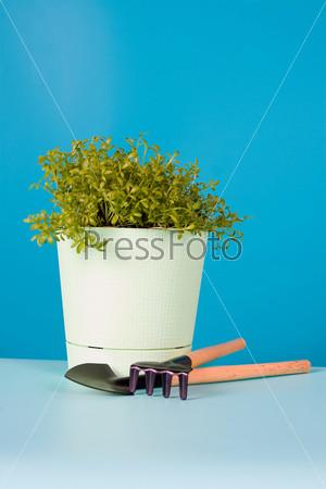 Водяной салат в горшке и садовые инструменты на синем фоне