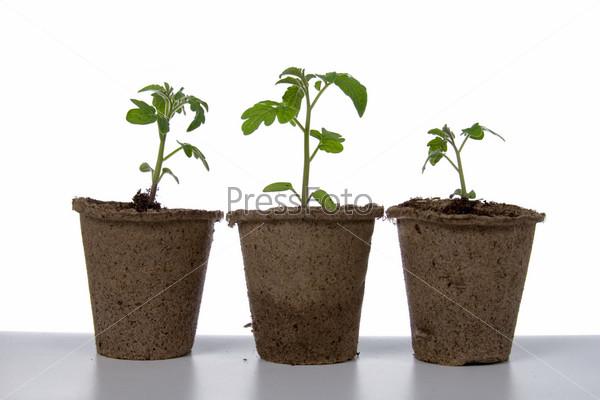 Сеянцы томатов в торфяных горшках на белом фоне