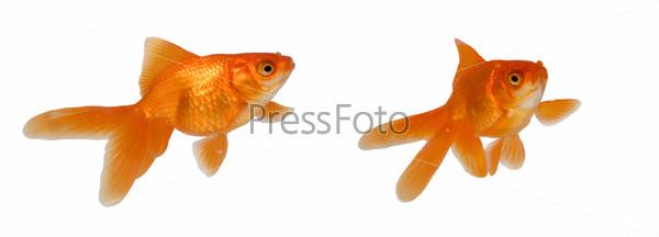 Две золотые рыбки, изолированные на белом фоне