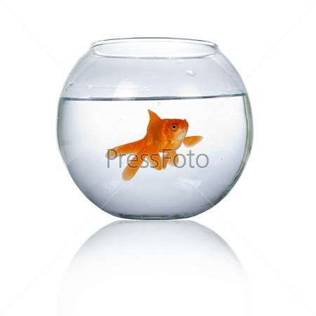 Золотая рыбка в аквариуме, изолированном на белом фоне
