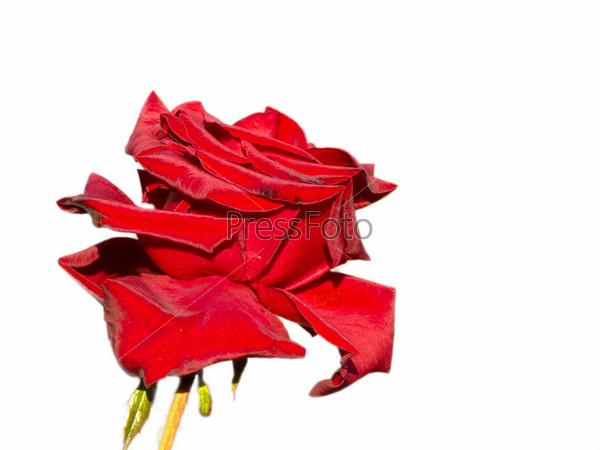 Большая красная роза, изолированная на белом фоне
