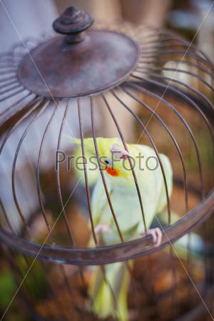 Попугай корелла в винтажной клетке