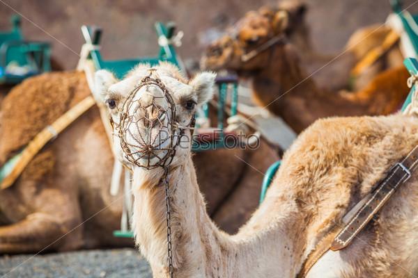 Фотография на тему Лансароте, Канарские острова. Верблюд в ожидании очередного туриста в национальном парке Тиманфая на фоне вулканического пейзажа