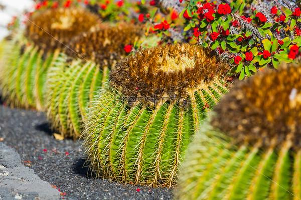 Кактусы в декоративном саду. Лансароте, Канарские острова, Испании