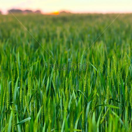 Зеленое весеннее поле пшеницы на закате