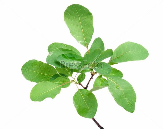 Ветка с зелеными листьями, изолированная на белом фоне