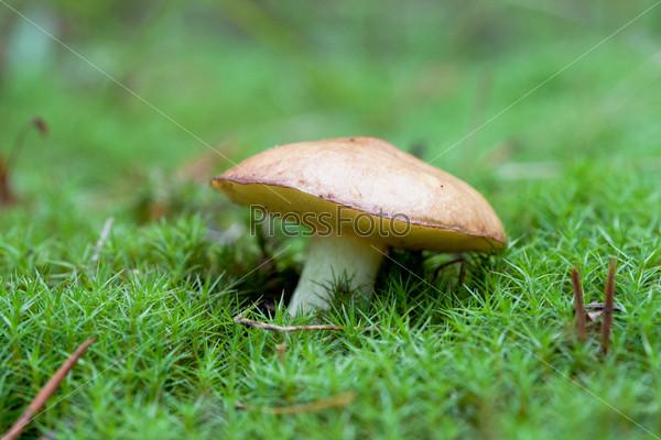 Коричневый гриб во мхе