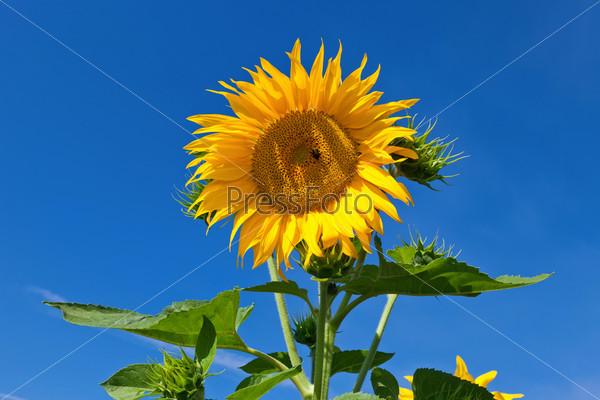 Фотография на тему Прекрасный желтый подсолнух на фоне голубого неба