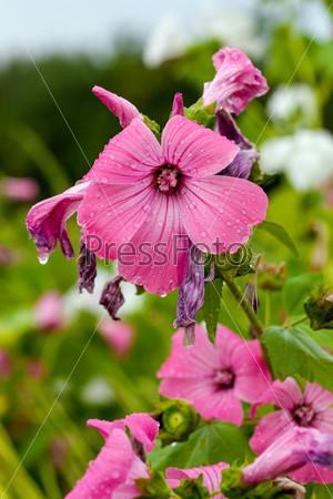 Розовые цветы крупным планом