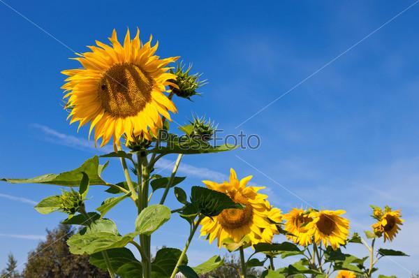 Прекрасные желтые подсолнухи на фоне голубого неба