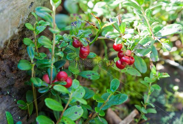 Кустарник брусники с ягодами