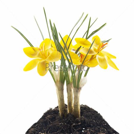 Желтый крокус в земле на белом фоне