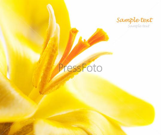 Желтый крокус на белом фоне