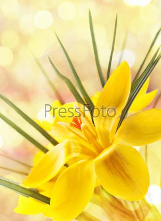 Желтые крокусы
