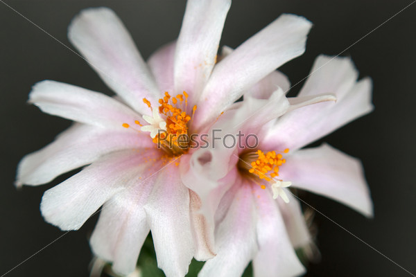 Кактус турбиникарпус с цветами на темном фоне