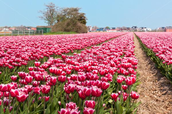 Фотография на тему Поле тюльпанов в Голландии