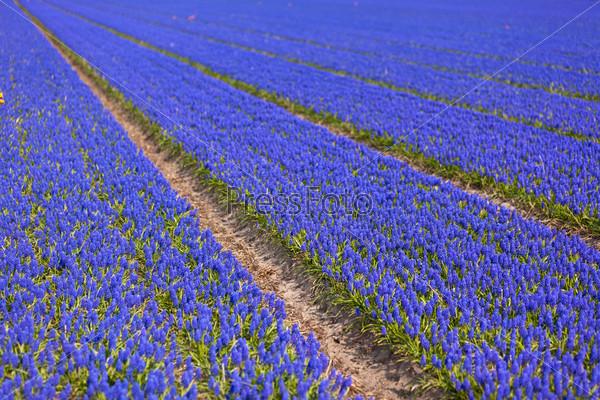 Поле тюльпанов в Голландии