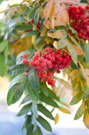 Фотография на тему Ягоды рябины на дереве