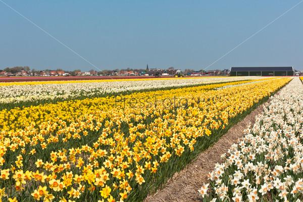 Фотография на тему Цветущие нарциссы в Голландии