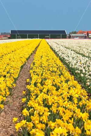 Цветущие нарциссы в Голландии