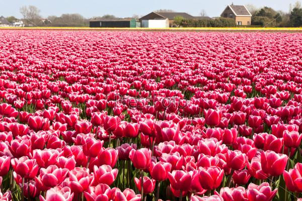 Цветущие тюльпаны в Голландии