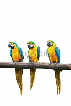 Фотография на тему Попугаи Ара, сидящие на ветке