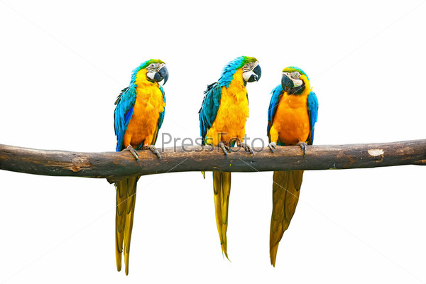 Попугаи Ара, сидящие на ветке