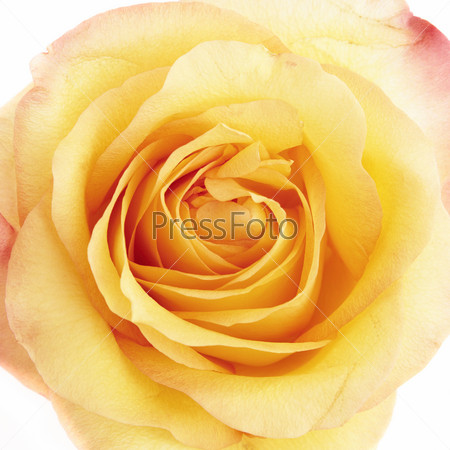 Прекрасная желтая роза