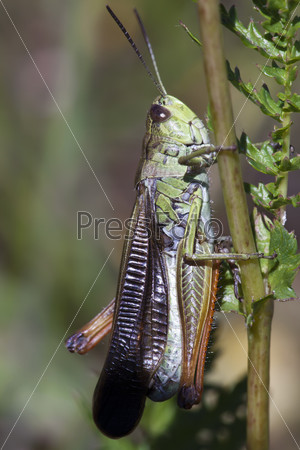 Фотография на тему Зеленый кузнечик