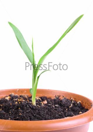 Маленький зеленый росток в горшке, изолированный на белом фоне