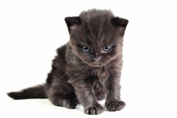 Маленький британский котенок, изолированный на белом фоне