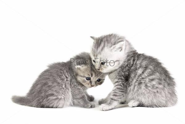 Маленькие британские котята, изолированные на белом фоне