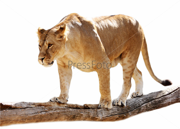 Фотография на тему Большая красивая львица