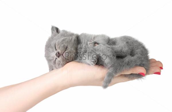 Маленький котенок, спящий на ладони на белом фоне