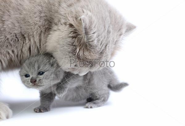 Фотография на тему Маленький котенок с мамой на белом фоне