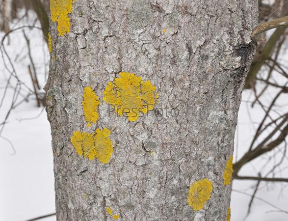 Желтый лишайник растет на дереве в лесу