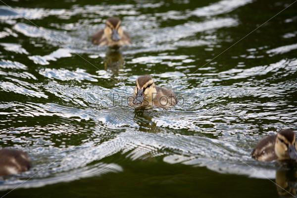 Утята в озере