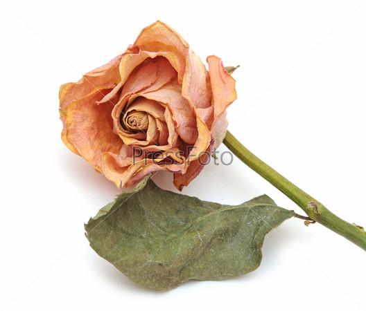 Сухая роза на белом фоне