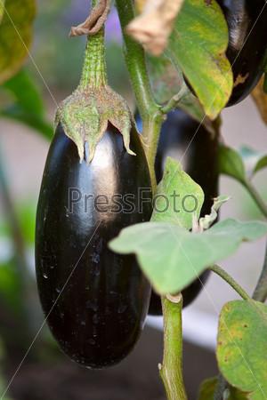 Фотография на тему Большие плоды баклажана на ветке