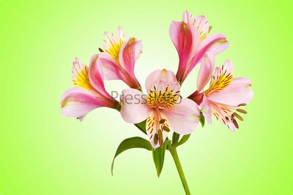 Красочная лилия на градиентном фоне