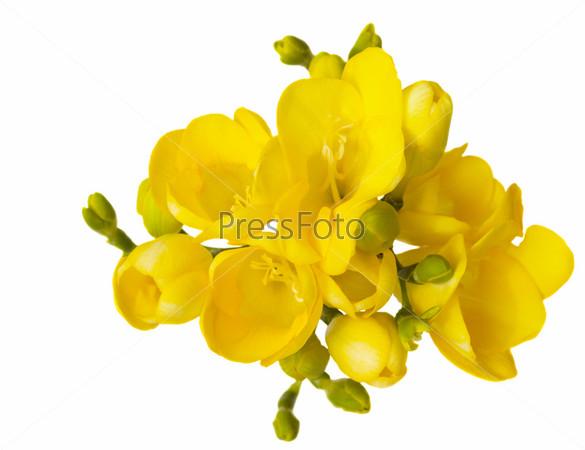 Букет из желтых фрезий на белом фоне