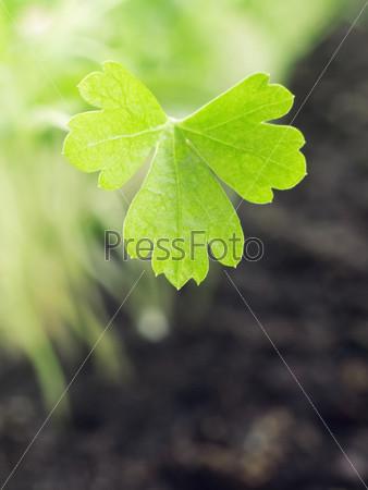 Лист свежей петрушки