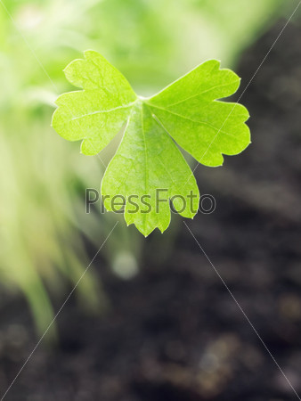 Фотография на тему Лист свежей петрушки