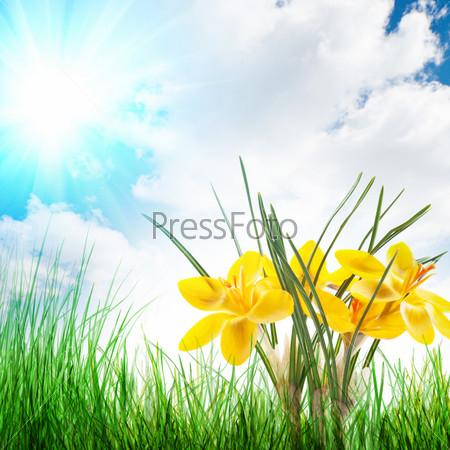 Крокусы среди травы
