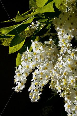 Фотография на тему Ветка цветущей черемухи на темном фоне