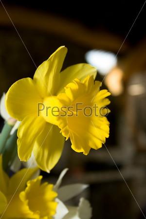Фотография на тему Желтый нарцис на темном размытом фоне
