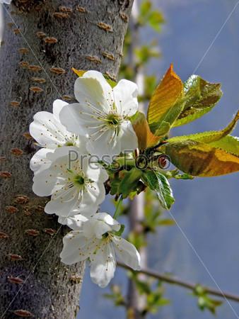 Фотография на тему Цветущее дерево