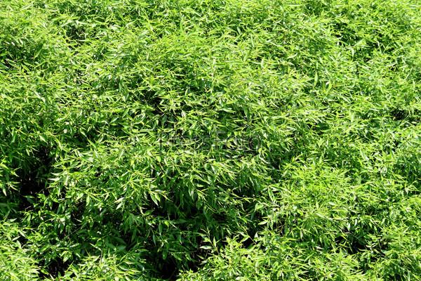 Фотография на тему Густая зеленая листва